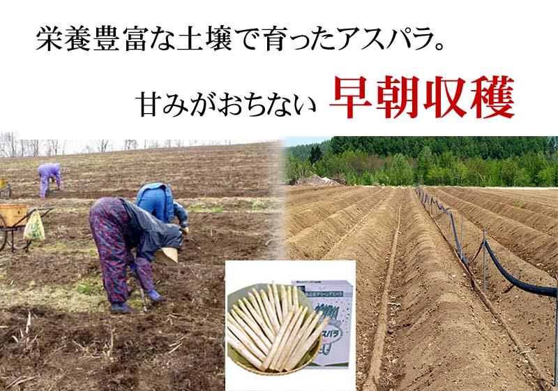 Lサイズのアスパラで、収穫までに3年かかります