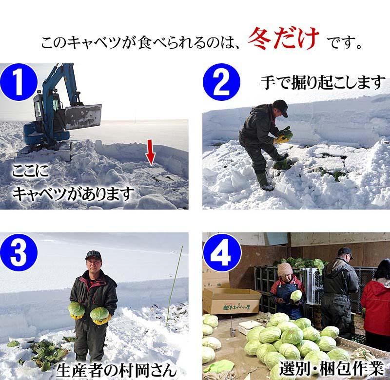 越冬キャベツの掘り起こしの様子