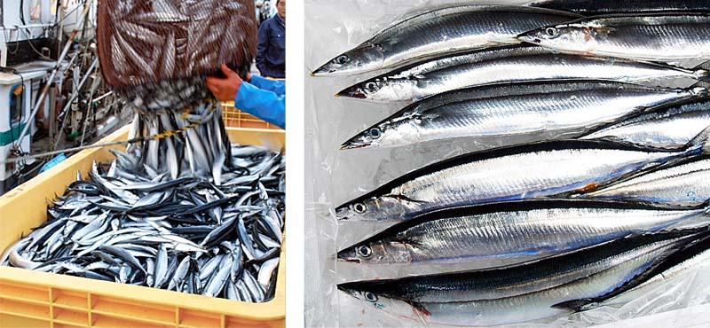 秋刀魚の水揚げの様子
