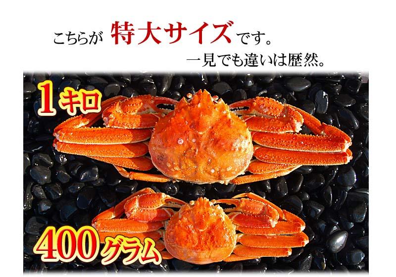 特大サイズのズワイ蟹、大きさ比較