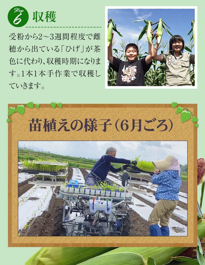 とうもろこしの種まきから収穫まで