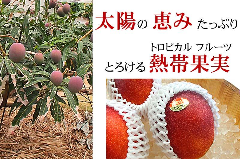 沖縄産マンゴー、糖度14度以上あります。